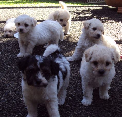 shih tzu puppies for sale gold coast frise puppies are for sale in australia with pups for sale puppy breeds picture