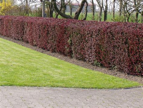 anleitung zum hecke pflanzen im garten - Welche Pflanzen Im Garten