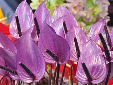 Bibit Bunga Anthurium jual bibit biji bunga purple anthurium bunga anthurium