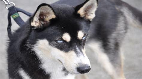 husky german shepherd mix puppies siberian husky german shepherd mix puppies funnydog tv