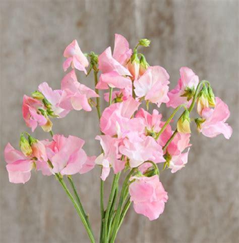 Benih Bunga Sweet Pea 5 Biji benih sweet pea elegance pink diana 5 biji non retail