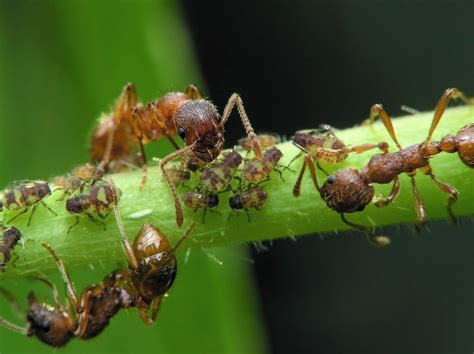 do ants eat aphids aphids and ant relationship between aphids and ants