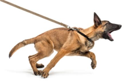 leash aggression in dogs on leash www pixshark images galleries with a bite