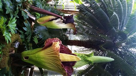 Corpse Flower Botanical Garden September 2017 Page 2