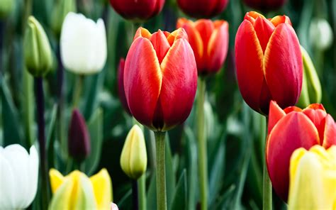 tulips in bloom wallpapers hd wallpapers