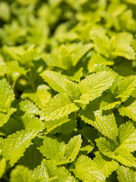 easy herbs  grow indoors hgtv