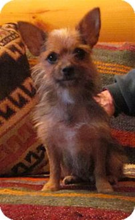yorkie australian terrier mix adopted brattleboro vt yorkie terrier australian terrier mix