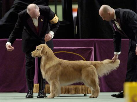 golden retriever show past winners and competitors at the westminster show
