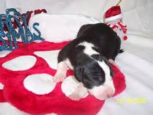 puppies for sale allentown pa great danes pa great dane puppies for sale adelina great danes breeds picture