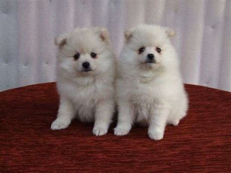 pomeranian breeder ontario beautiful pomeranian puppies available beautiful pomeranian puppies available for sale