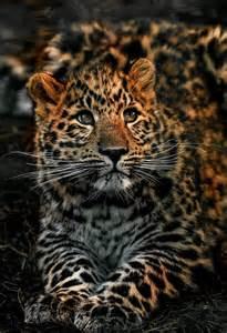 Peter hausner leopard cub big beautiful felines pinterest