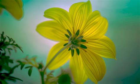 yellow flower african daisies plants android wallpapers
