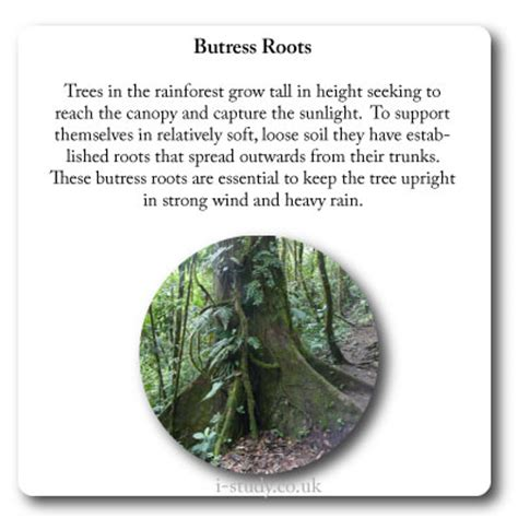 tropical forest plant adaptations rainforest plant adaptation butress roots ib
