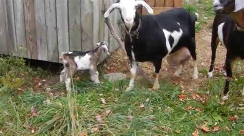 backyard goat farming goat farming in a pa backyard youtube gogo papa
