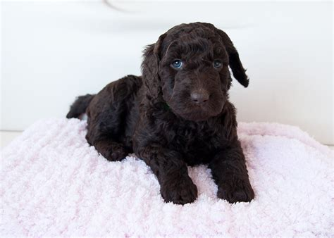 goldendoodle puppy rochester ny pipers puppies of new york labradoodle puppies for sale