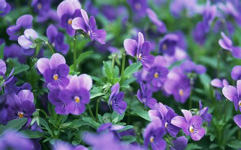 wallpaper violet the mysterious violet hd wallpaper 9 flower wallpapers