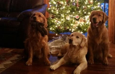 golden retriever breeders in central pa sunbolyn golden retrievers pennsylvania golden retrievers puppies pa