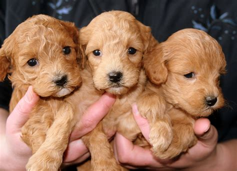 wann lã uft shopping wann ist ein hund ausgewachsen gr 246 223 e hunderassen