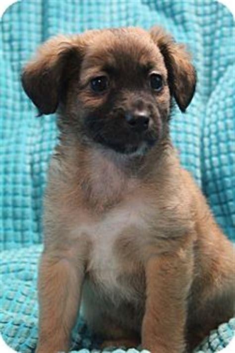 sheltie shih tzu sheltie shetland sheepdog shih tzu mix puppy for adoption in allentown pennsylvania