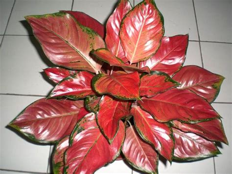 Tanaman Hias Passiflora New Hybrid 34 best images about aglaonema on velvet