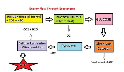 steps of photosynthesis flowchart power energy vocabulary flipquiz