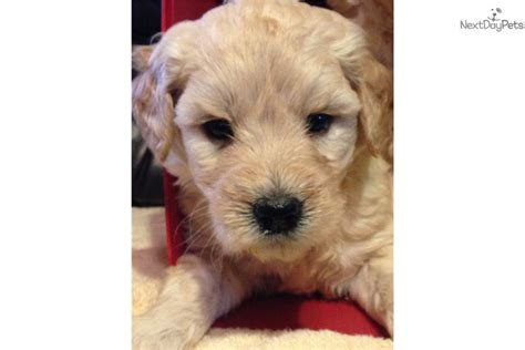 goldendoodle puppy missouri miniature goldendoodle puppies for sale in missouri