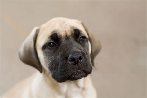 bull mastiff puppies file bullmastiff puppy fawn portrait jpg