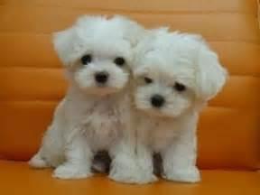 Maltese Puppies 1000 Ideas About Maltese Puppies On Maltese