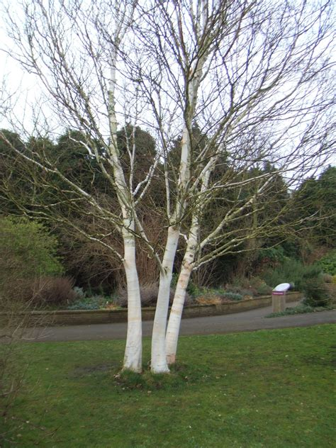 betula utilis var jacquemontii make the most of your garden