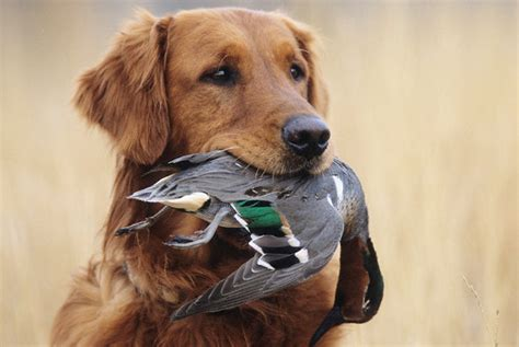 with golden retriever golden retriever with green winged teal history