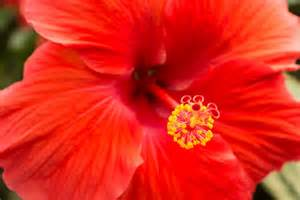 Amaryllis Flower Meaning - hibiscus signification des fleurs