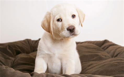 cute puppy eyes wallpapers hd wallpapers id