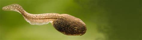 images of tadpoles tadpoles
