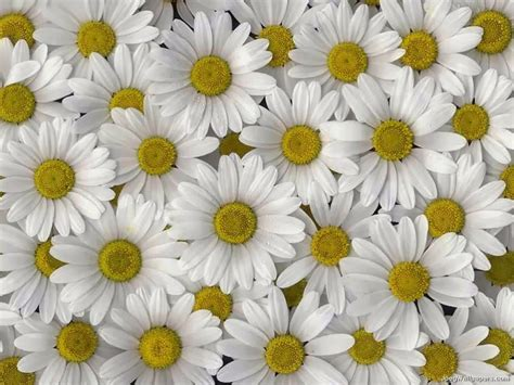 flower picture daisy flower 3 daisy flower wallpaper beautiful desktop wallpapers 2014