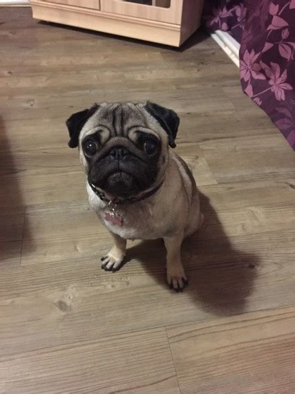 pugs for sale berkshire pug for sale needs new loving home reading berkshire pets4homes