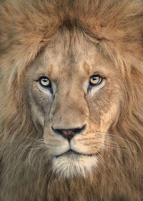 majestic male lion portrait  detlef knapp majestic animals animals wild animals