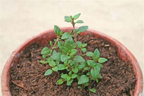 growing herbs indoors from seeds growing thyme from seed growing thyme from seed