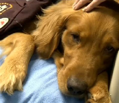 seizures in golden retriever credited with saving suffering from a seizure