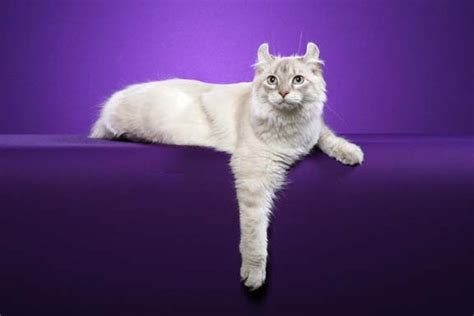 Highlander Cat Breed Info, History, Personality, Care