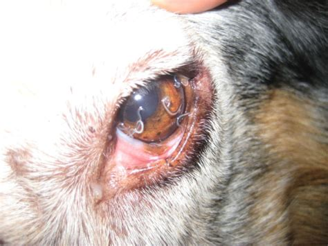 conjunctivitis in dogs high parasitic burden in a positive with conjunctivitis and oedema