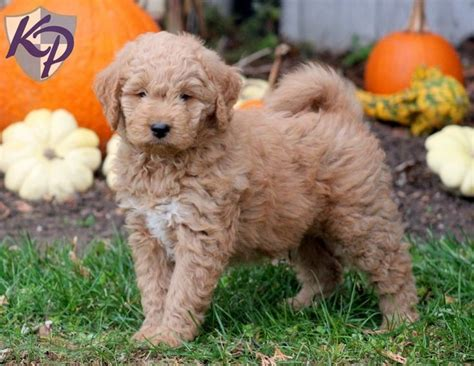 goldendoodle lifespan 1000 ideen zu goldendoodle miniature auf mini