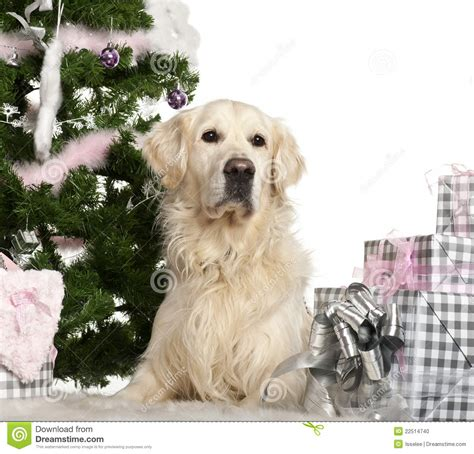 Golden Retriever 8 Years Lying Stock Photo Image 22514740