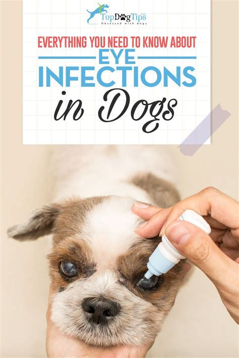 pug ear infection treatment best 25 eye infections ideas on causes of eye infection and