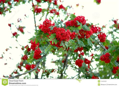 ash rowan tree and ashberry rowanberry stock image