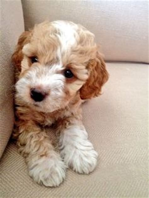 goldendoodle puppies for sale in louisville ky 1000 ideas about goldendoodle miniature on