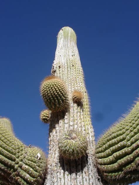 cactus candelabro panoramio photo of cactus candelabro