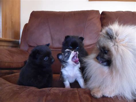 colored pomeranian puppies pomeranian puppies 2 and 2 boys colors willenhall west midlands pets4homes