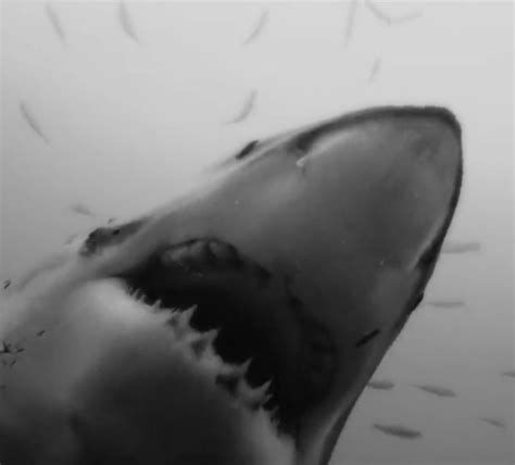 gif best 30 shark gifs at best animations