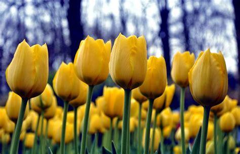 wallpaper bunga tulip kuning arti bunga tulip berdasarkan warnanya gambar gambar bunga