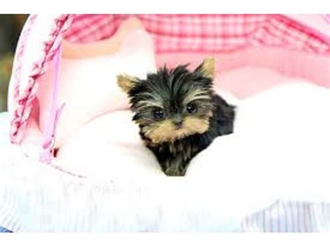 potty a teacup yorkie potty trained teacup yorkie puppies ready animals chattanooga tennessee